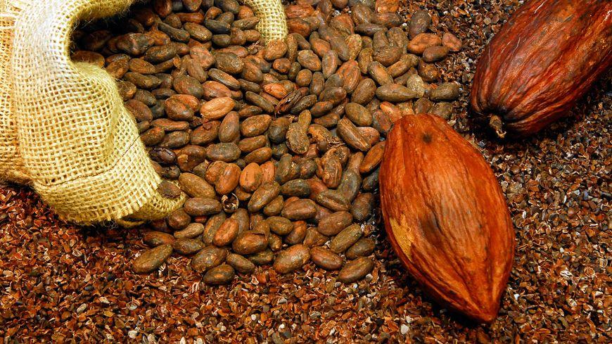 Seul un mode de culture plus durable peut sauver les  cacaoyers et leurs précieuses fèves.