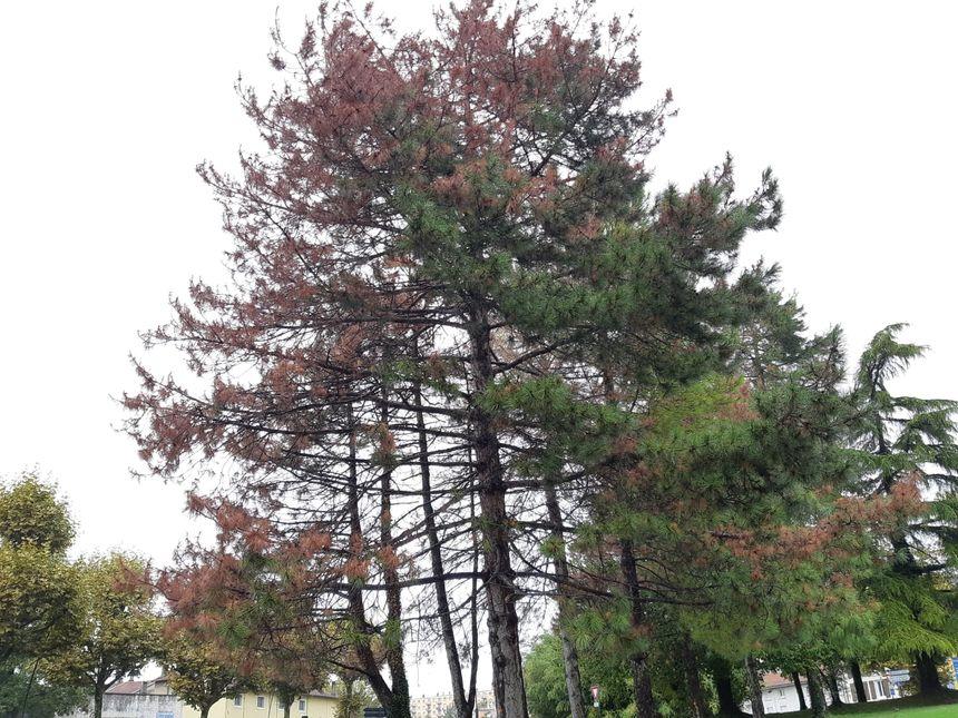 Les pins ont été frappés par la grêle par l'ouest. C'est là aussi que s'est installé le champignon.