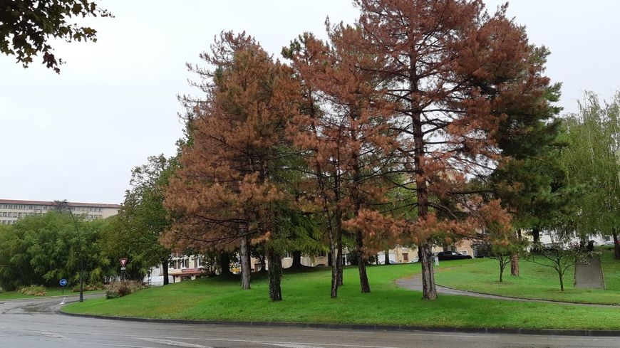 Les pins touchés par le champignon deviennent marrons.