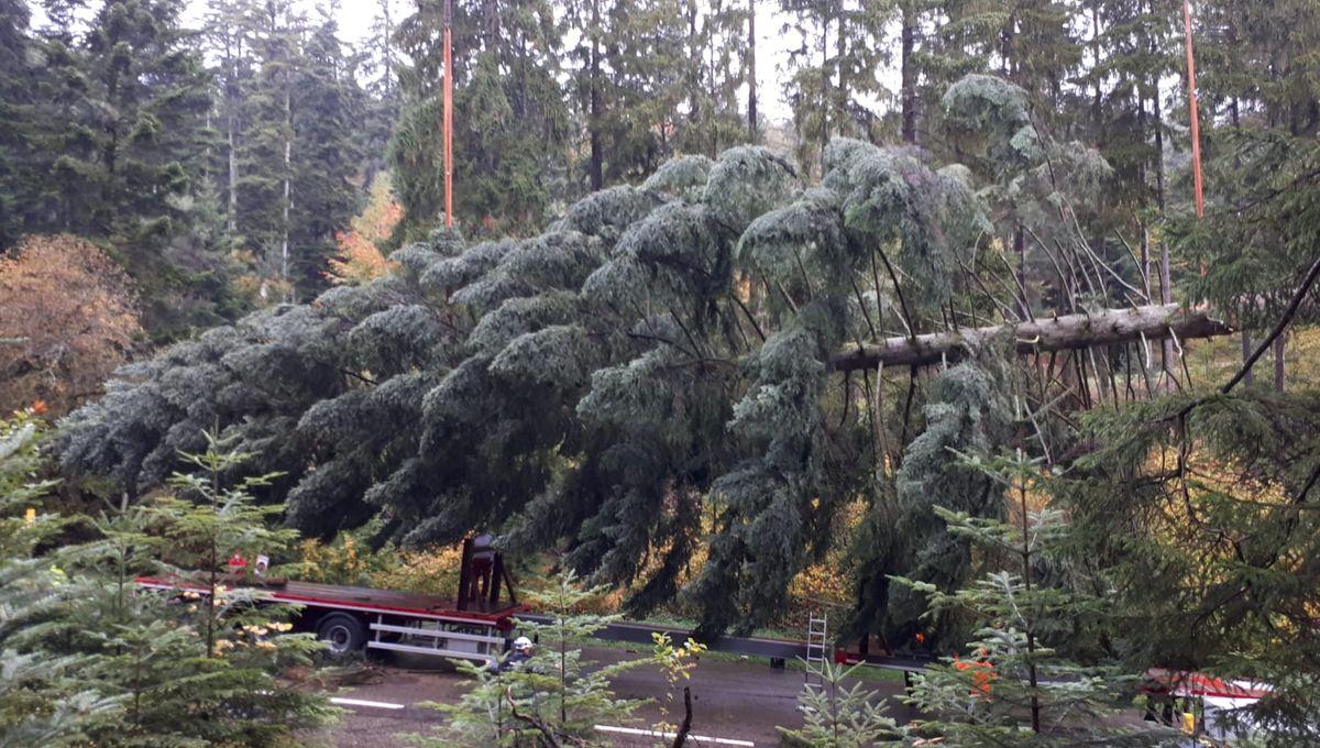 Strasbourg : le sapin de Noël 2019 a été coupé dans la forêt de Bœrsch en Alsace