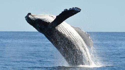 La valeur inestimable des baleines (et des chauves-souris)