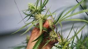 Huit plants de cannabis en pleine floraison découverts dans une cave du quartier Chilvert de Poitiers