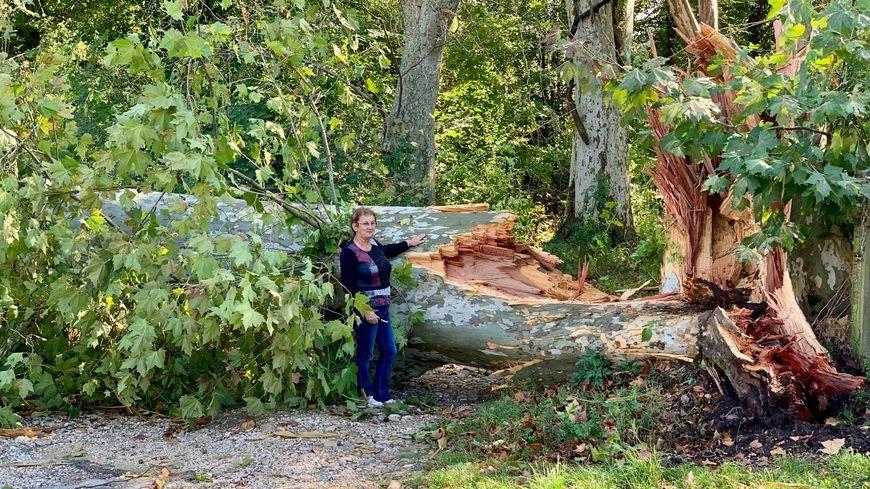 Un platane de 40 mètres arraché par le coup de vent à Crépol (Drôme)