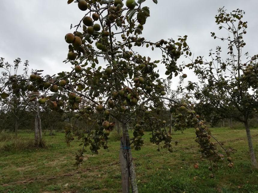 Les pommiers de la ferme Pémartin à Arbonne