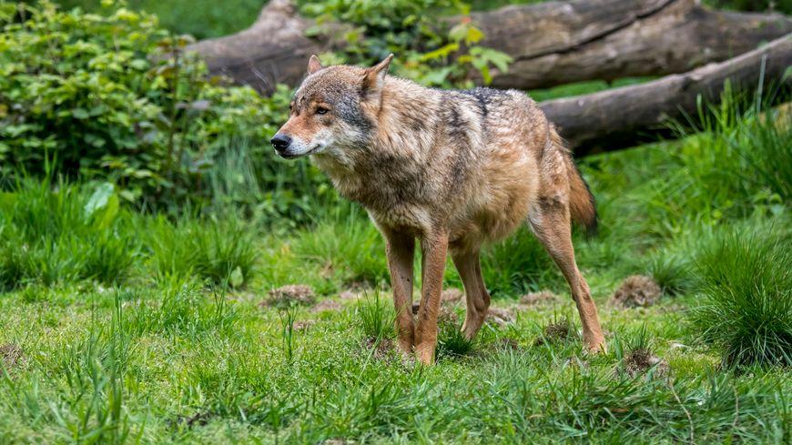 En l'absence de prélèvements ADN, impossible de connaître l'origine du loup gris aperçu en Charente-Maritime. Image d'illustration.