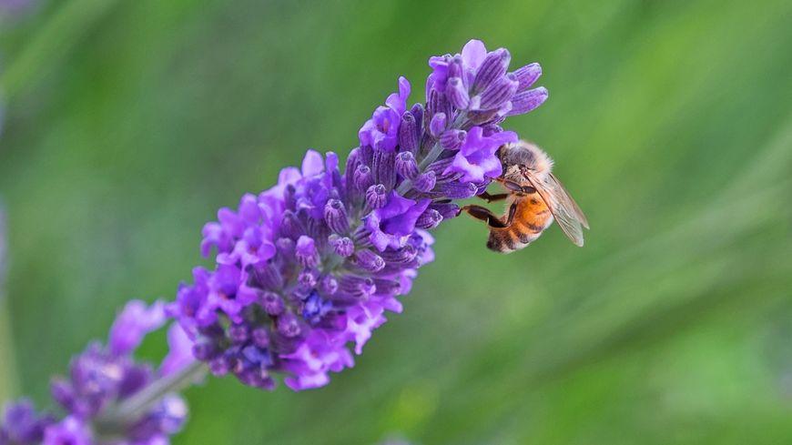 Fleur de lavande odorante, le paradis des abeilles...
