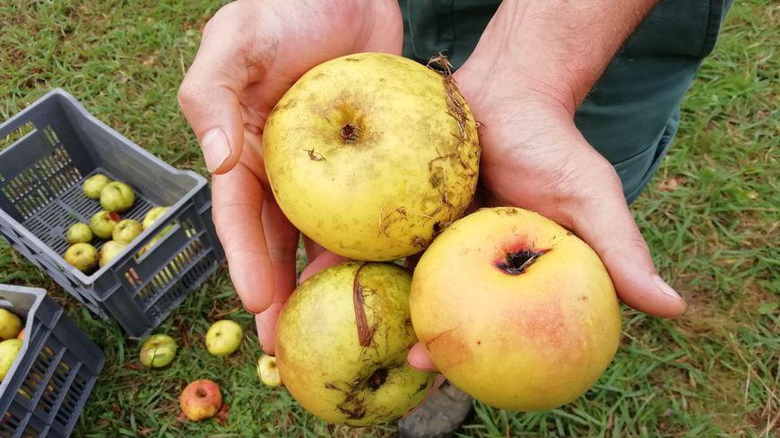 Les pommes de la Ferme Pémartin à Arbonne