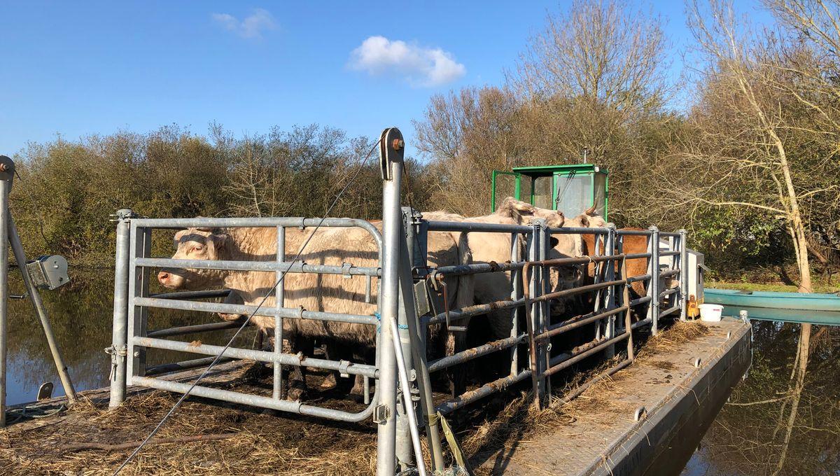 En Brière, les vaches quittent le marais en barge