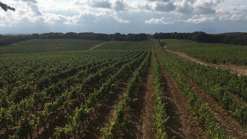 Les vignes du domaine  Saint-Jean-de-l'Arbousier à Castries.