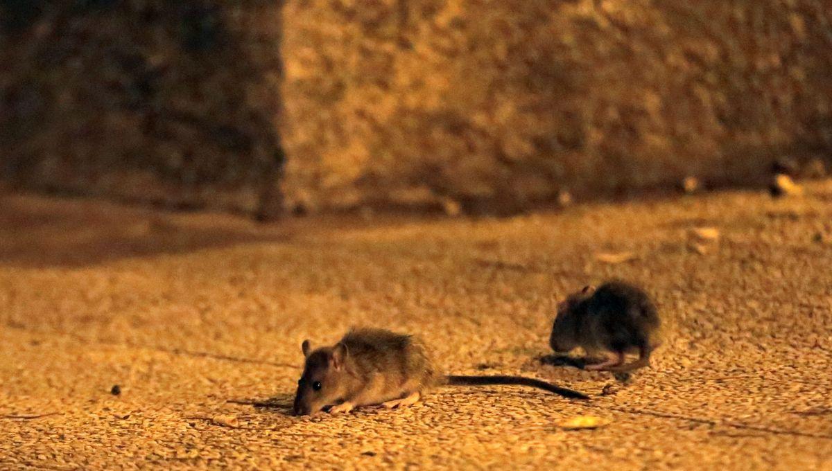 Prolifération de rats à Avignon autour de la place Pie