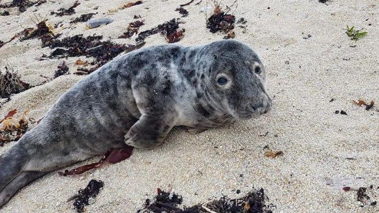 Le bébé phoque était venu sur la plage pour s'y reposer selon l'Océanopolis de Brest