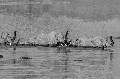 Panoramic des éléphants traversant la rivière Luangwa avec des troncs élevés pour éviter les crocodiles -