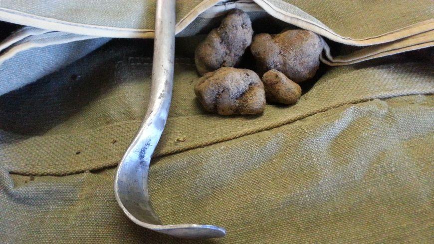 Des truffes sauvages de Vaucluse avec l'outil de cavage pour sortir la truffe du sol