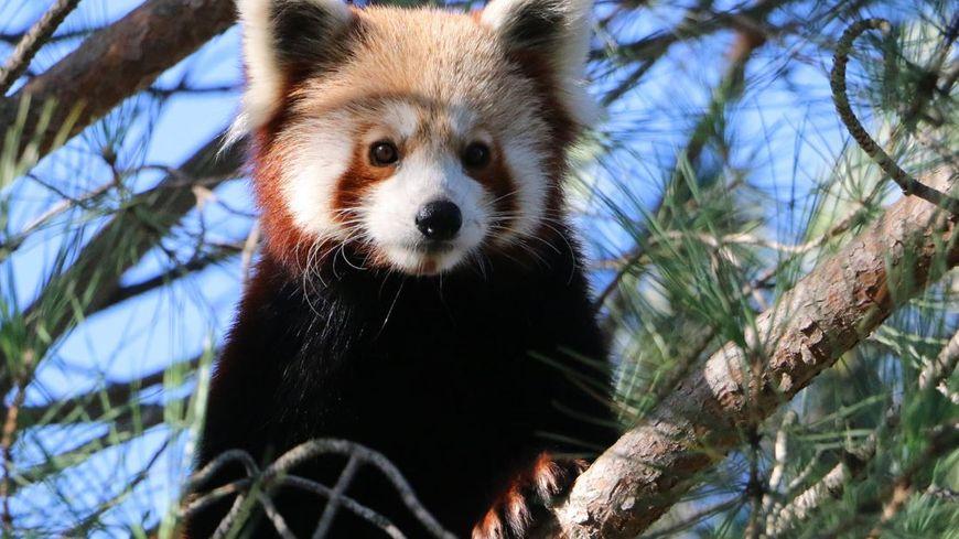 Le panda s'est échappé dans la nuit du 14 au 15 novembre.