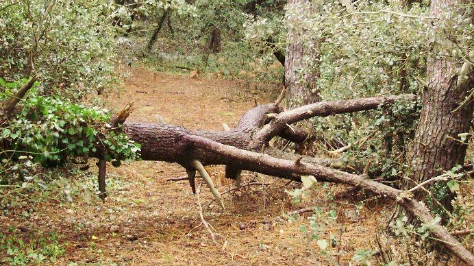 Exemple d'un chablis en forêt, c'est-à-dire un arbre déraciné à cause d'un phénomène météo, comme le vent ou l'orage.