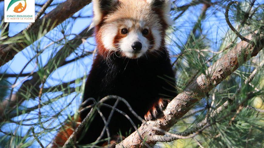 Le panda roux de l'espace zoologique de Saint-Martin la Plaine.