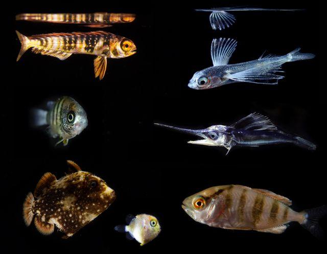 Larves de poissons pêchées près de Hawaii