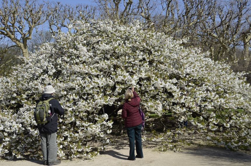 Le cerisier du Jardin des Plantes à Paris.