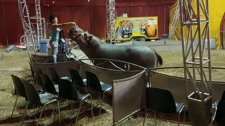 L'hippopotame Jumbo, du cirque drômois Muller pèse trois tonnes.