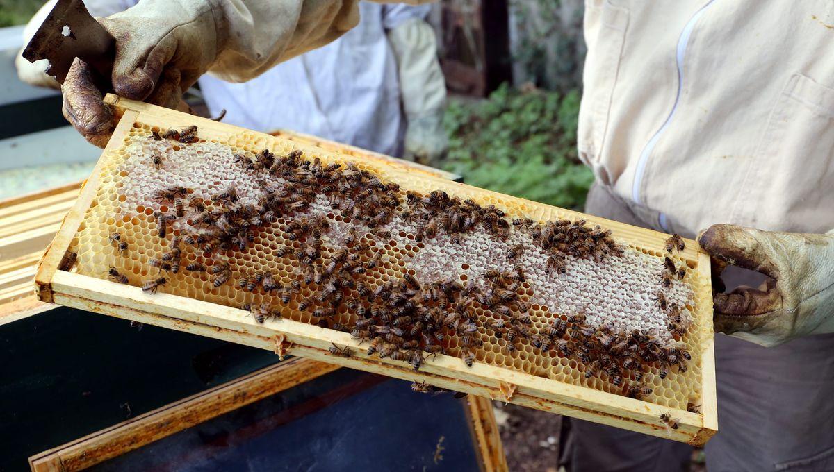 Abeilles domestiques : il faut limiter le nombre de ruches en ville