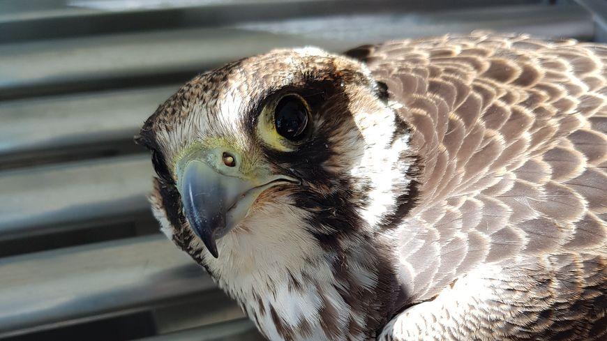 La LPO réalise des radios des oiseaux qui lui sont amenés. En 2019, une vingtaine d'oiseaux protégés ont été touchés par des plombs de chasse