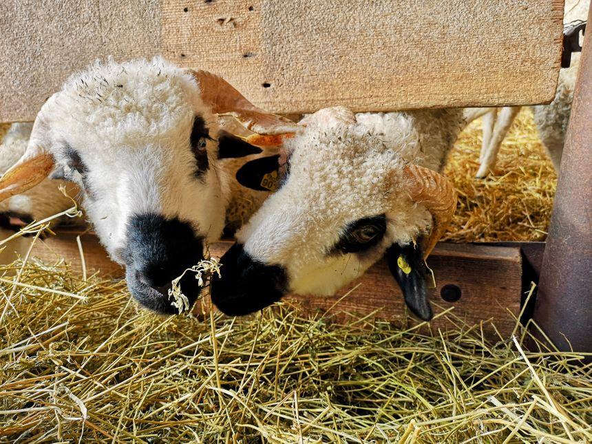 L'exploitation compte 200 brebis et agneaux