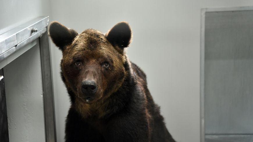 L'ours Mischa, le 11 novembre 2019, au zoo-refuge  La Tanière (Loir-et-Cher)