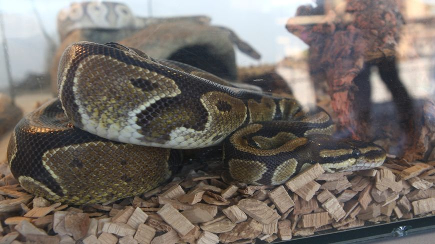 Un python dans un terrarium. Illustration.