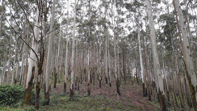 Dans un autre village des montagnes ce sont des milliers d'eucalyptus qui ont été plantés
