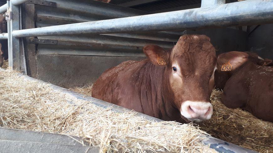 La Celmar a commercialisé en 2018 plus de 40 mille vaches