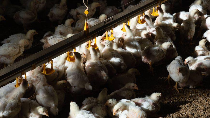Un élevage de poulets (illustration).