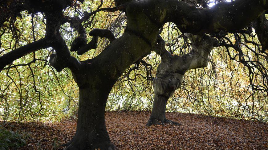 Les hêtres tortillards de l'arboretum de Segrez, à Saint-Sulpice-de-Favières fait partie des 132 arbres remarquables.