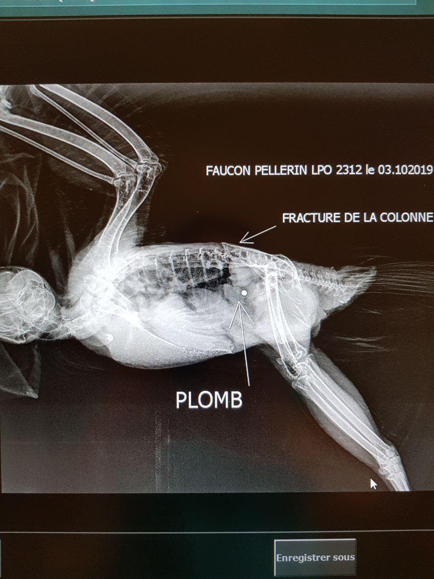 Radio d'un faucon pèlerin touché par un plomb de chasse