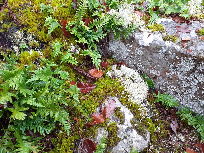 Exemple de lichens que l'on trouve dans ces pierriers
