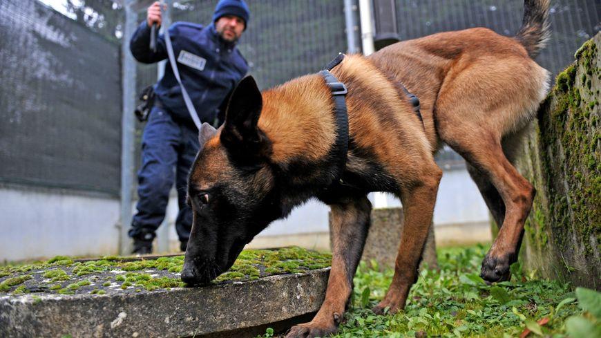 Le berger belge malinois est utilisé par de nombreuses unités de police et gendarmerie (illustration, ici en Belgique)