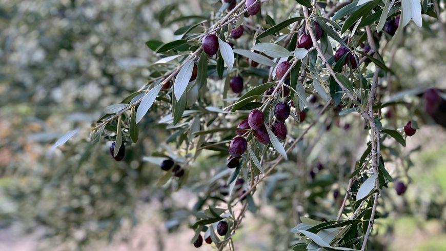 Des olives pendant la récolte des olives de Nyons en Drôme.