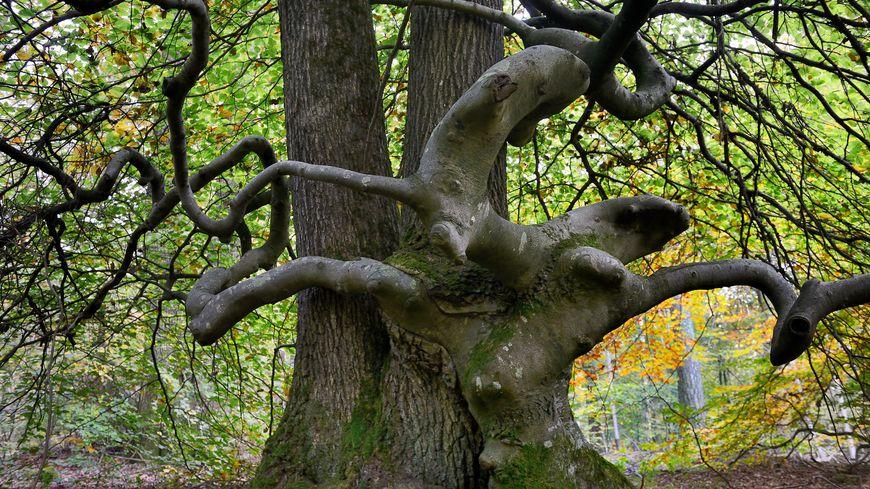Parc Naturel Régional de la Montagne de Reims, Foret domaniale de Verzy.