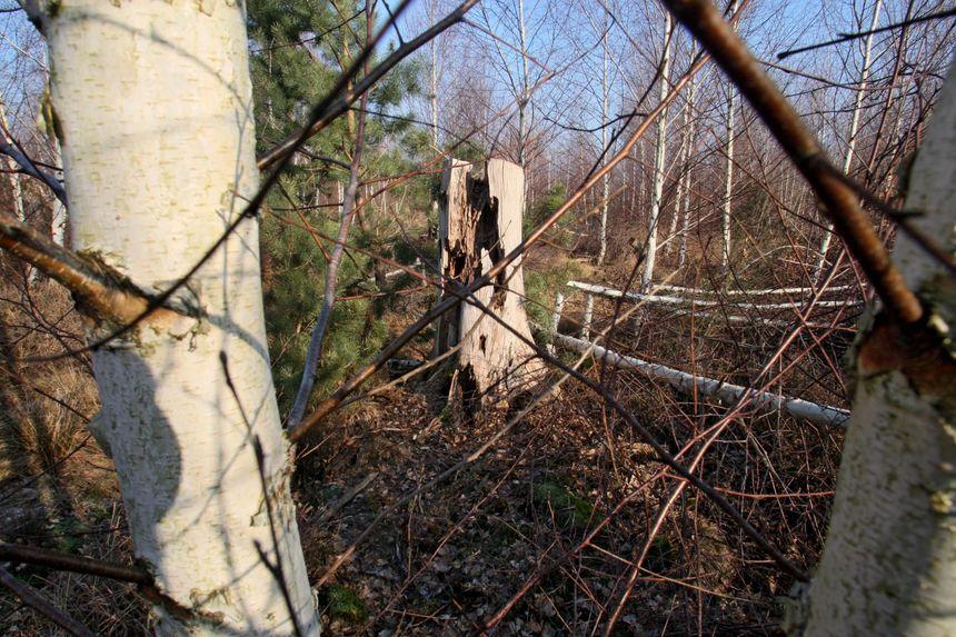 Ça et là on retrouve quand même les traces des arbres ravagés par la  grande tempête de 1999