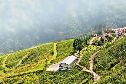 La première plantation de thé vit son apparition à Darjeeling grâce au botaniste Robert Fortune.