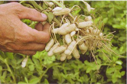 Cacahuètes de Soustons