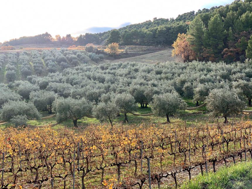 Une parcelle d'oliviers irriguée à Piégon dans le sud de la Drôme