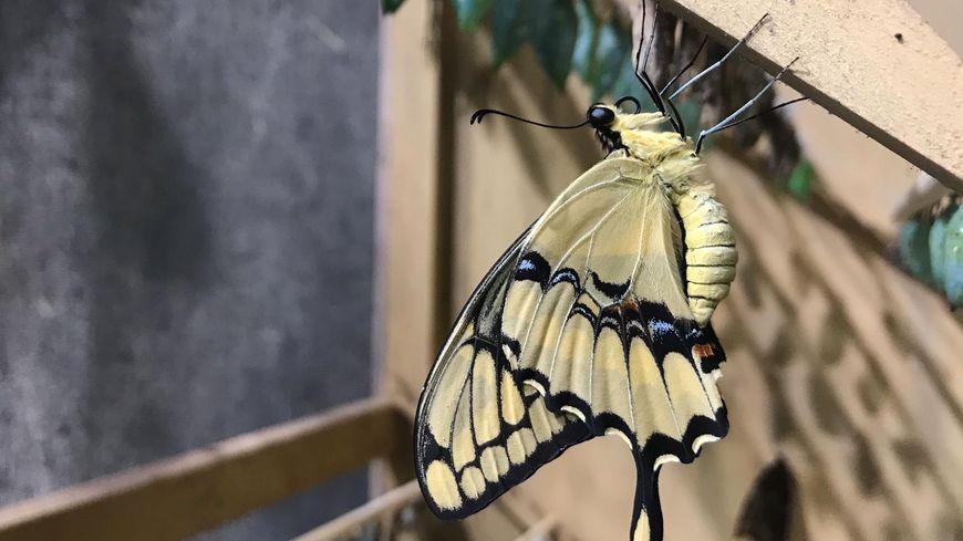 Les papillons arrivent en majorité à l'état de chrysalide, avant d'éclore et d'être libéré dans la serre