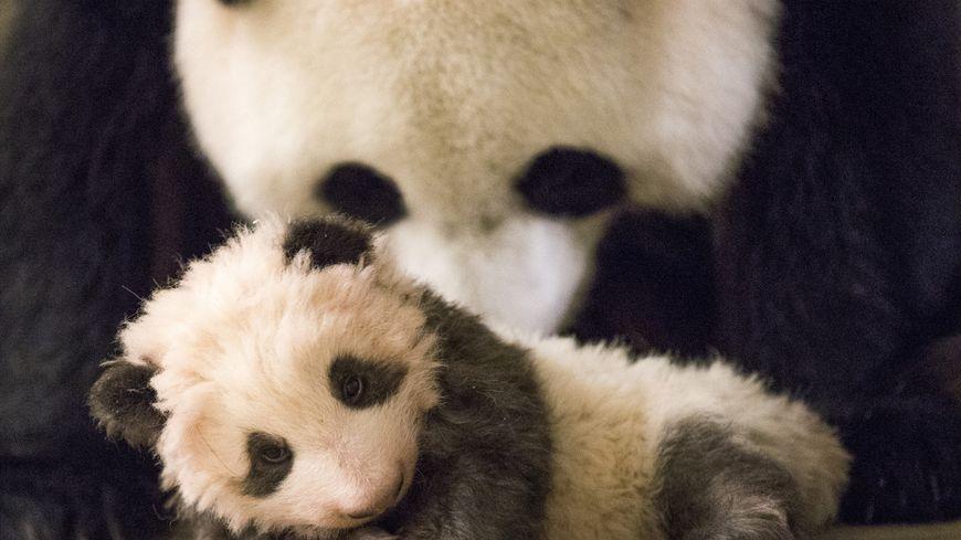 La femelle panda du zoo de Beauval a été inséminée artificiellement le 23 décembre. Photo d'illustration.