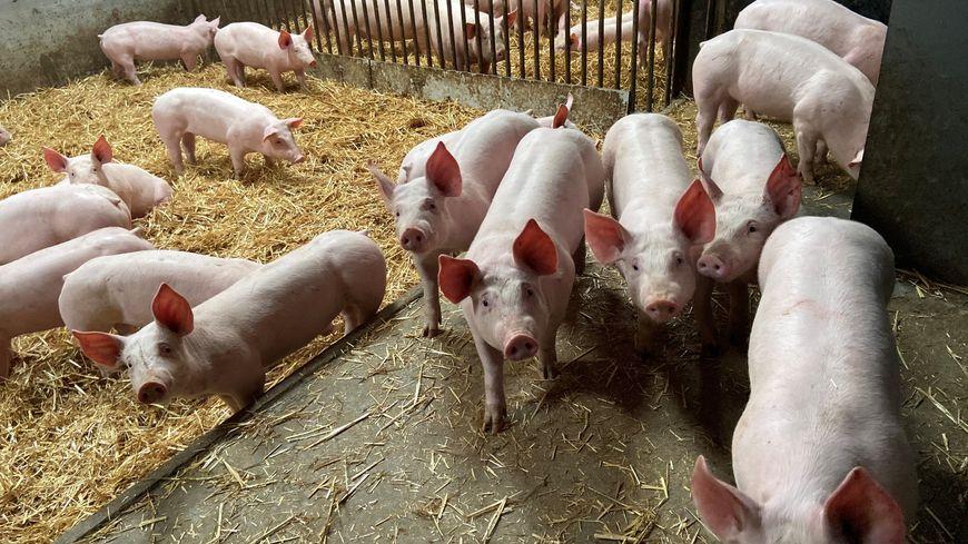 Les Delval élèvent 80 cochons sur la paille à Aniche, la justice les a condamnés à les déplacer