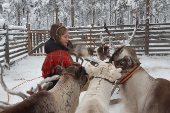 Miia, éleveuse de rennes, doit désormais nourrir ses bêtes