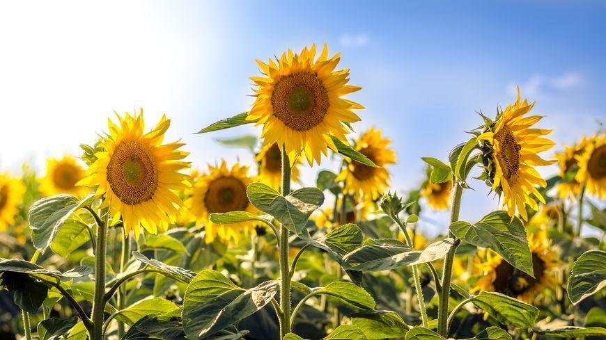 Les fleurs de tournesol ne suivent pas le soleil dans le ciel !