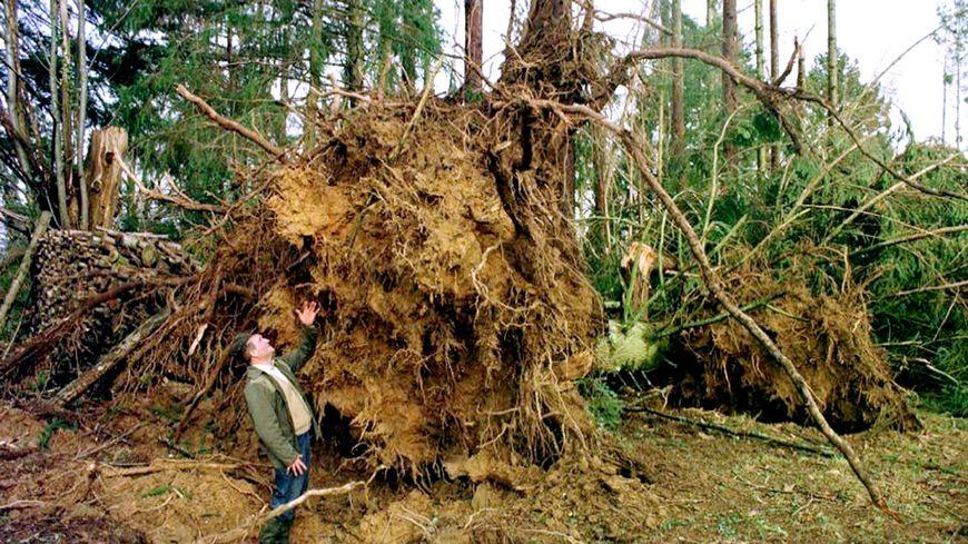 Un homme regarde, le 28 décembre 1999 à Boisseuil près de Limoges, la souche d'un pin Douglas de 50 ans, déraciné par la tempête