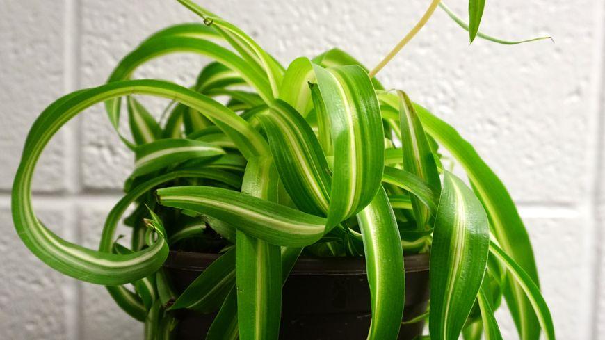 Le chlorophytum absorbe les COV