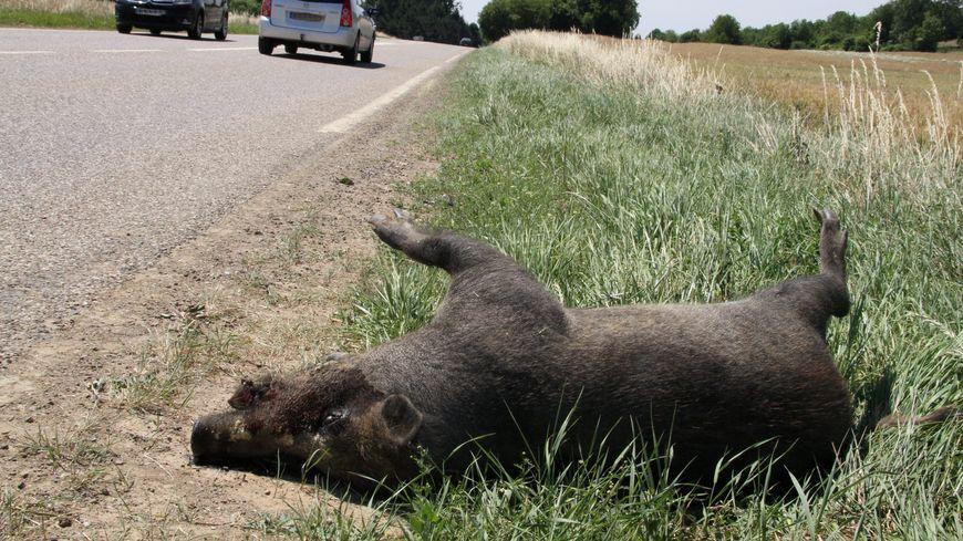 Sanglier mort au bord d'une route (illustration)