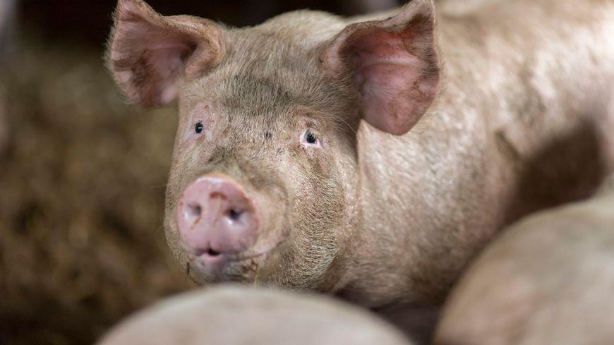 L'élevage porcin est le premier en France contaminé par la maladie, qui touche d'ordinaire les sangliers sauvages (illustration)